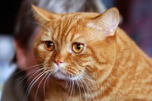 рыжий кот примета
