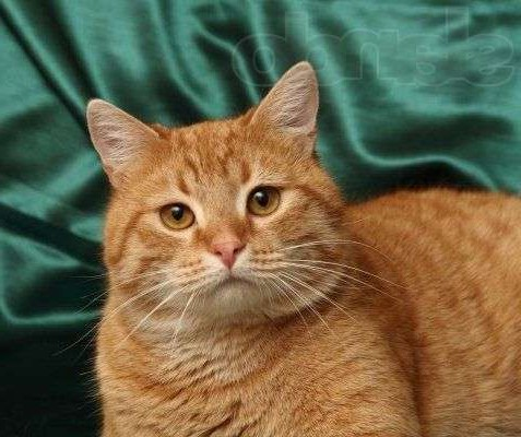 Фотографии кота рыжего