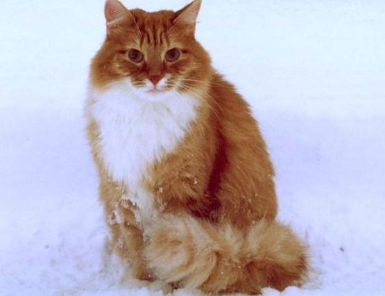 рыжий кот сибирский