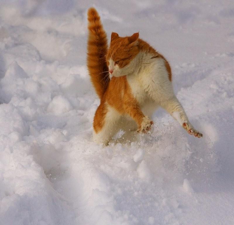 рыжая кошка против собаки