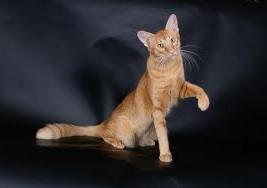Яванская кошка какая она порода