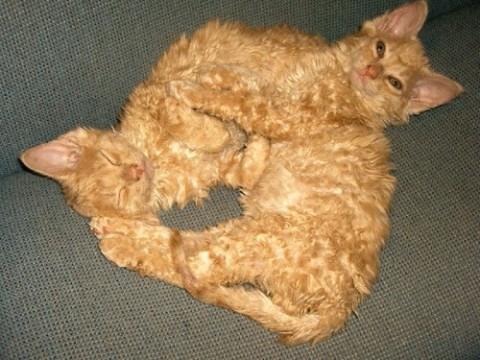 тиффани-кошка