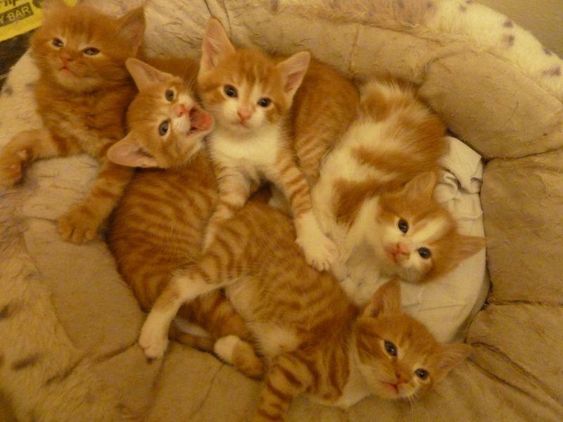 Группа рыжих котов