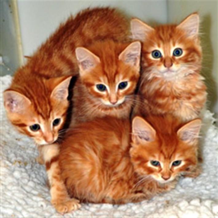 рыжие-котята-симпатичные