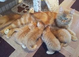 рыжие котята пьют молоко у мамы кошки милые и красивые
