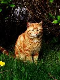 красивый-рыжий-кот