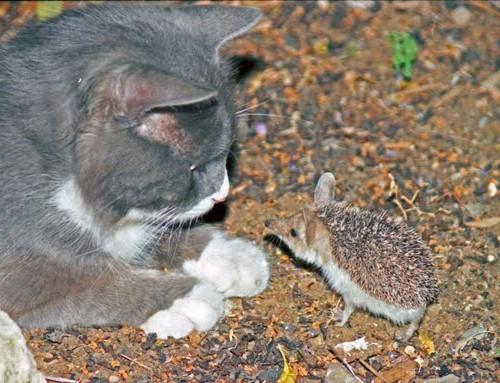 милый кот серый с маленьким ежиком