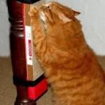 рыжий котик точит когти