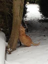 рыжий кот когти точит
