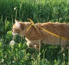 как приучить кота к шлейке
