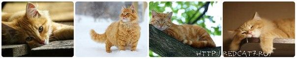 рыжие коты красивые