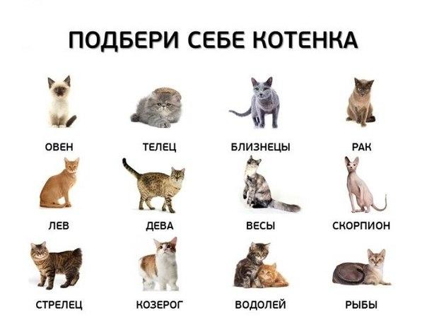 кошки пушистые и знак зодиака