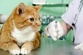 вакцинация-кошек