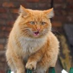 рыжий кот сидит на заборе