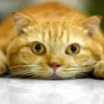рыжий кот лежит