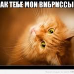 вибриссы у кота