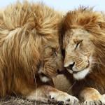 львы классные пара