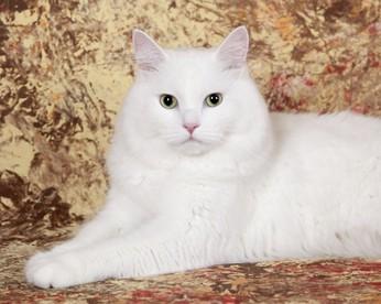 кошки альбиносы