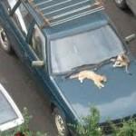перевозить кошку в машине как