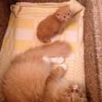 кошка рыжая с котенком