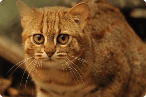 красивая полосатая кошка беременная