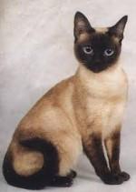 10 малоизвестных фактов о сиамских кошках.