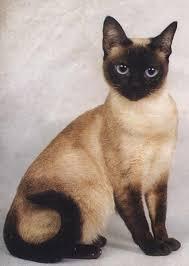 кот-сиамский