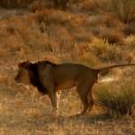 лев метит территорию