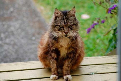 старый рыжий кот