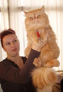 породистый рыжий кот