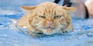 рыжий кот плывет