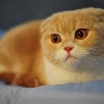 рыжий-котенок-вислоухий