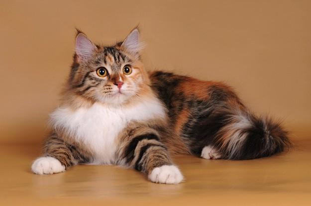 кошка трехцветная лежит