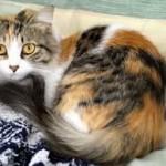 красивая трехцветная кошка