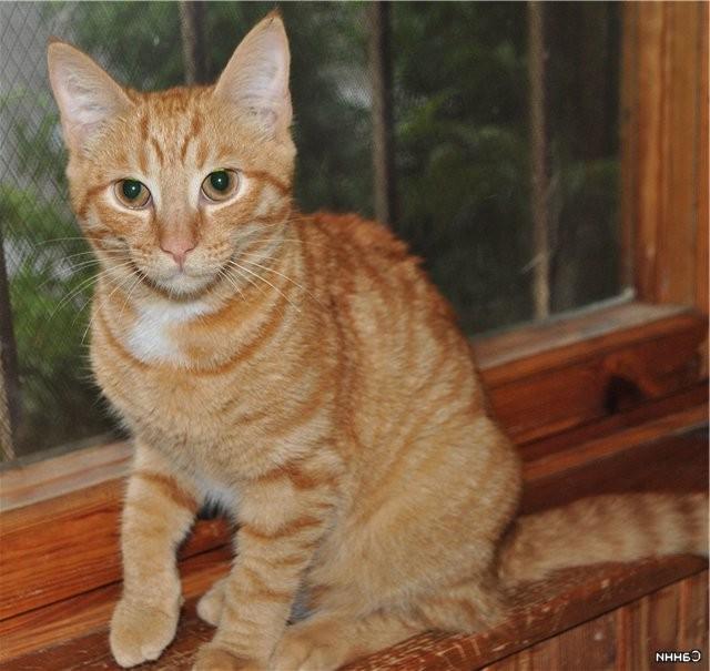 Кошки рыжие гладкошерстные.