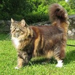 Рыжая норвежская лесная кошка.