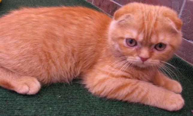 шотландских вислоухих кошках с рыжим окрасом