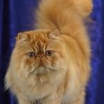 рыжий окт красивый пушистый характер рыжих котов