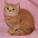 Британские кошки рыжего (красного) окраса.