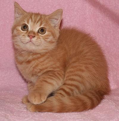 британские рыжие кошки