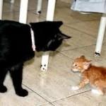 рыжий котенок и черная кошка