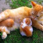 рыжая-кошка-с-котятами