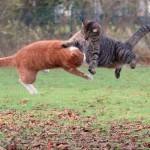рыжий-кот-дерется-с-другим-котом