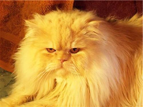 Какое питание необходимо длинношерстным кошкам?