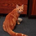 рыжий-кот-кушает