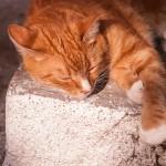 рыжий-кот-спит