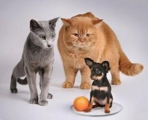кот-и-пес-как-подружить