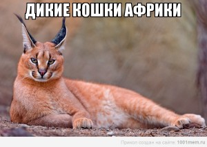 Дикие кошки Африки, дикие кошки Африки видео, смотреть дикие кошки Африки, дикие кошки Африки смотреть онлайн