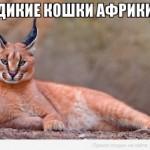 Дикие кошки Африки, какие они?
