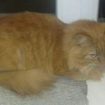 Уход за длинношерстными кошками